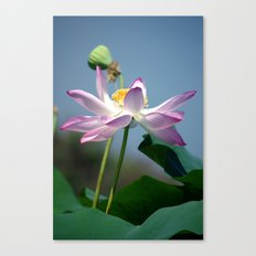 Lotus Blooms Canvas Print