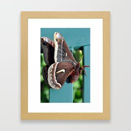 Ceanothus silkmoth hanging out 2 Framed Art Print