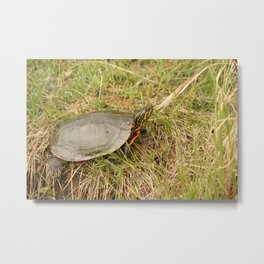 Painted Turtle Sunning on Grass Metal Print
