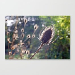 Teasel flower in Autumn Canvas Print