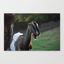 Pippin the Goat Canvas Print