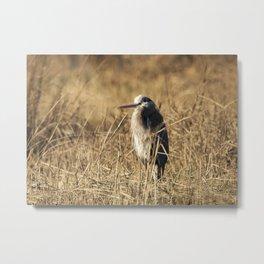 Great Blue Heron in Field Metal Print