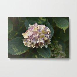 Yellow-Purple Hydrangea Metal Print