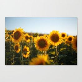 Sunflower's Season (II) Canvas Print