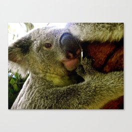 Kuddly Koalas. Canvas Print