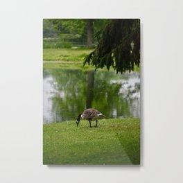 Goose by a pond Metal Print