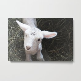 White Baby Lamb Metal Print