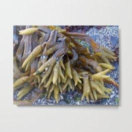 Seaweed bladders -  Bladder wrack  Metal Print
