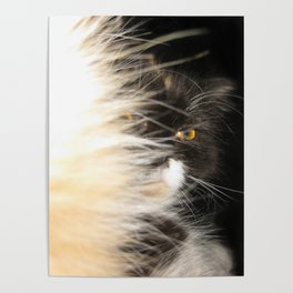 Fluffy Calico Cat Poster