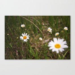 daisy field. Canvas Print