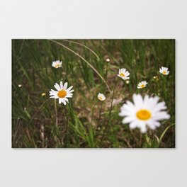 daisy field. Canvas Print