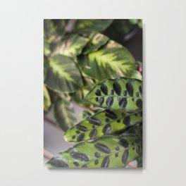Calathea  |  The Houseplant Collection Metal Print