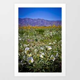 Superbloom Field in the Anza Borrego Desert Filled with Flowers Art Print