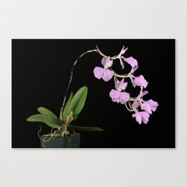 Comparettia macroplectron Canvas Print