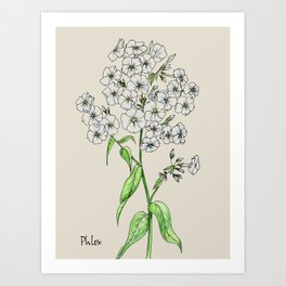 Botanical illustration of Phlox Art Print