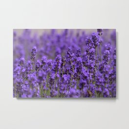 the smell of lavender -c- Metal Print