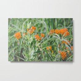 Butterfly Milkweed Metal Print