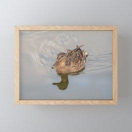 Mallard hen swimming on the River Bure, Horning Framed Mini Art Print