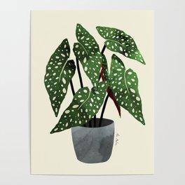 begonia maculata interior plant Poster