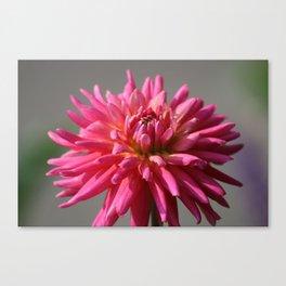 Colorful Dahlia Flower Bloom Canvas Print
