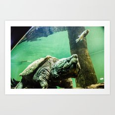 An Alligator Snapping Turtle  Art Print