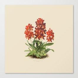 R. Warner & B.S. Williams - The Orchid Album - vol 01 - plate 004 Canvas Print