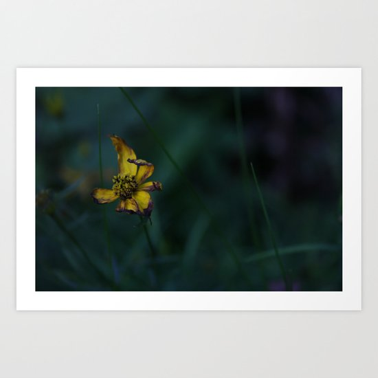 photograph of a Withering Buttercup flower in the evening shade Art Print