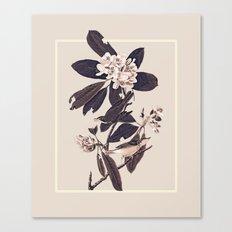 Cardellina Canvas Print