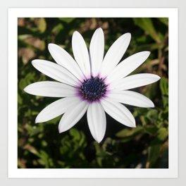 White African Daisy Art Print