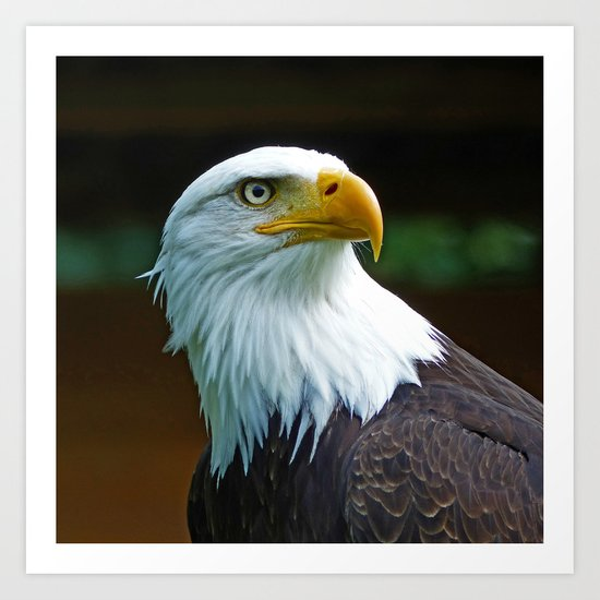 American Bald Eagle Head Art Print