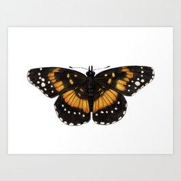 Bordered Patch (Chlosyne lacinia) Art Print