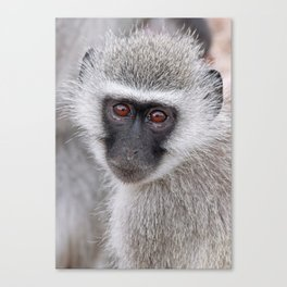 Little vervet monkey, Africa wildlife Canvas Print
