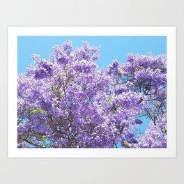 Jacaranda in bloom Art Print