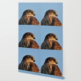 Young Cooper's Hawk Wallpaper