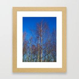 Silver Birch Trees in Winter Sunlight Framed Art Print