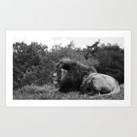 Lion laying in the sun Black and white Art Print