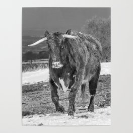 English Longhorn Black And White Poster