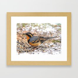Male Varied Thrush Amid the Snow and Seed Framed Art Print