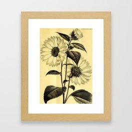 Sunflower Helianthus multiflorus 1891 Framed Art Print
