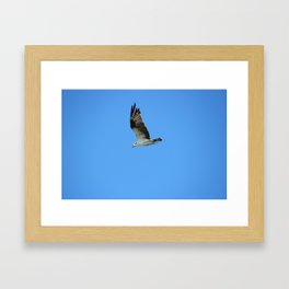 Osprey in Flight Framed Art Print