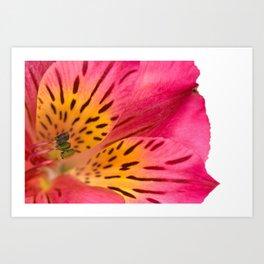 Peruvian Lily Macro Art Print