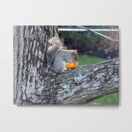 Cute Squirrel in Tree Eating Mini Pumpkin Metal Print