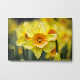 Closeup of a Bright Yellow Daffodil Flower in the Spring in Amsterdam, Netherlands Metal Print