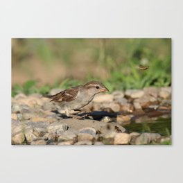 Young sparrow at watter Canvas Print