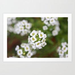 Sweet Alyssum Art Print