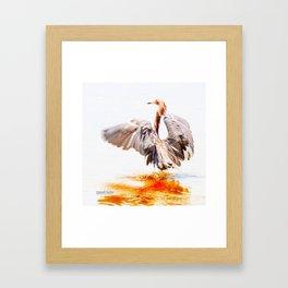 Reddish Egret 8 by Darrell Hutto Framed Art Print