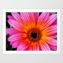 Pink and Orange Daisy  Art Print