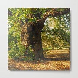 Shady old chestnut tree Metal Print