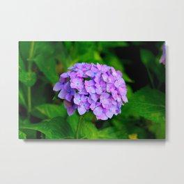 Purple hydrangea Metal Print