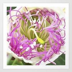 Caper Flower Blossom Art Print